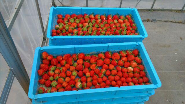 夏秋イチゴ